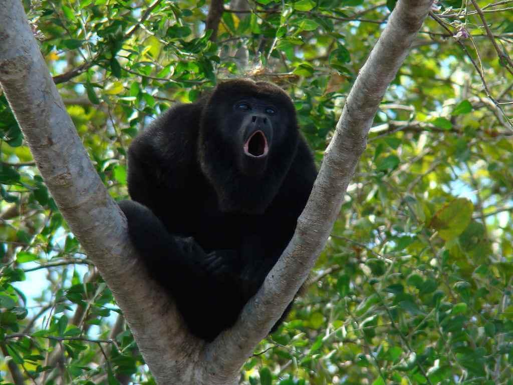 brulaap-jungle-palenque