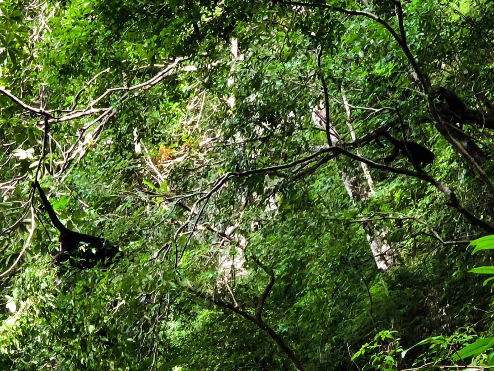 spider monkeys in Semuc Champey